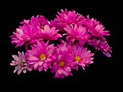 FJSpinkDaisies.jpg Flora - Flower Blossoms photography black purple lavendar lavender