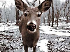 JRohDear.jpg Fauna mammals animals snow white winter