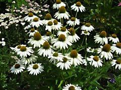 LNconeFlowersW.jpg Flora - Flower Blossoms photography white green