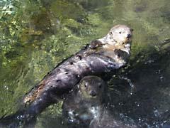 LSotters.jpg Fauna mammals animals sealife