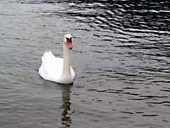 MVswam.jpg Fauna birds avian animals lakes ponds water loch photography