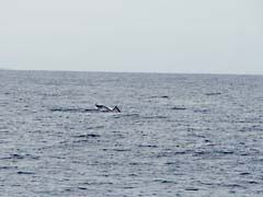 MW09Hawaii.jpg Fauna whale tail fluke photography hawai'i hawaiian islands pacific ocean Landscapes - Water