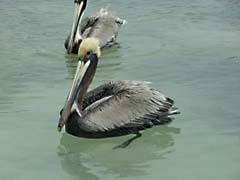 RJW19Belize.jpg Fauna birds avian animals photography caribbean