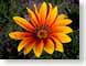 SJflos.jpg Flora Flora - Flower Blossoms green orange